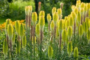 fleurs kniphofia percy pride