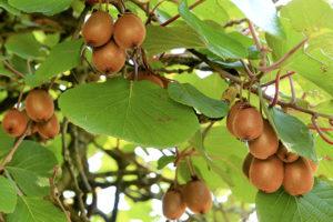 plantation-arbre-fruitier-kiwi